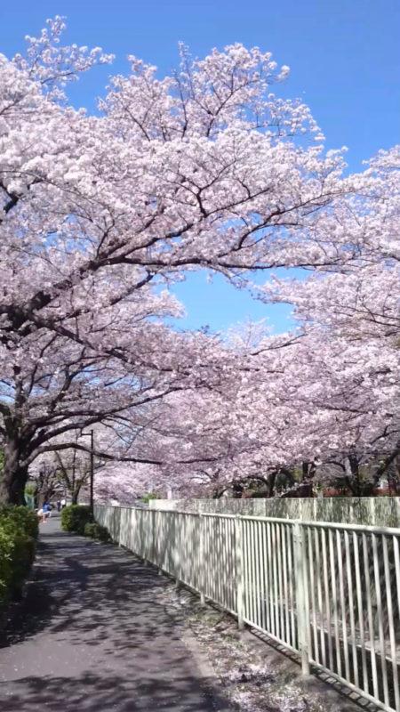 桜・神田川