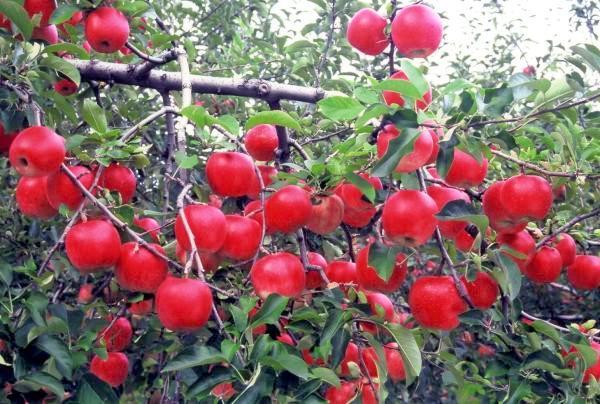 奥久慈りんご狩り