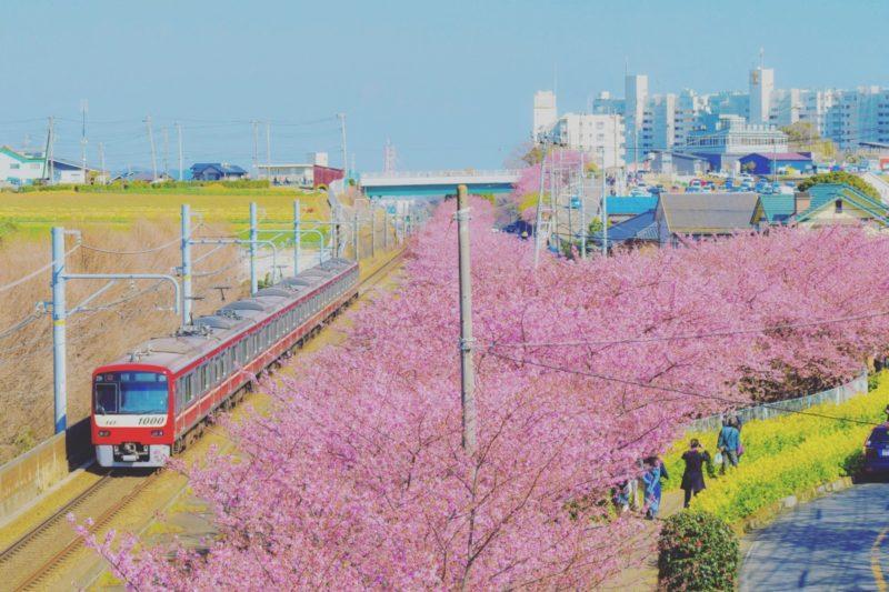 河津 桜 三浦 海岸 2021 2021年、三浦半島の河津桜 🌸