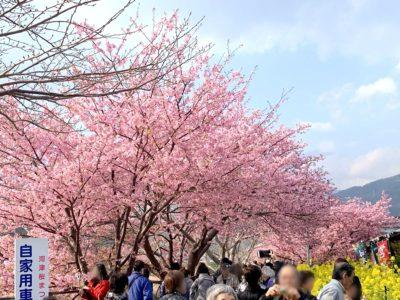 伊豆・河津桜