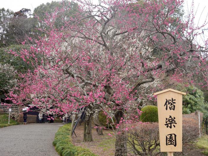 偕楽園の梅祭り